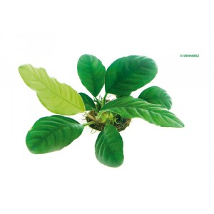 """Anubias '' Coffeifolia"""""""